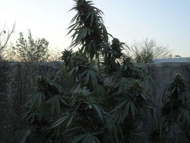 Выращивание сорта сатори 32