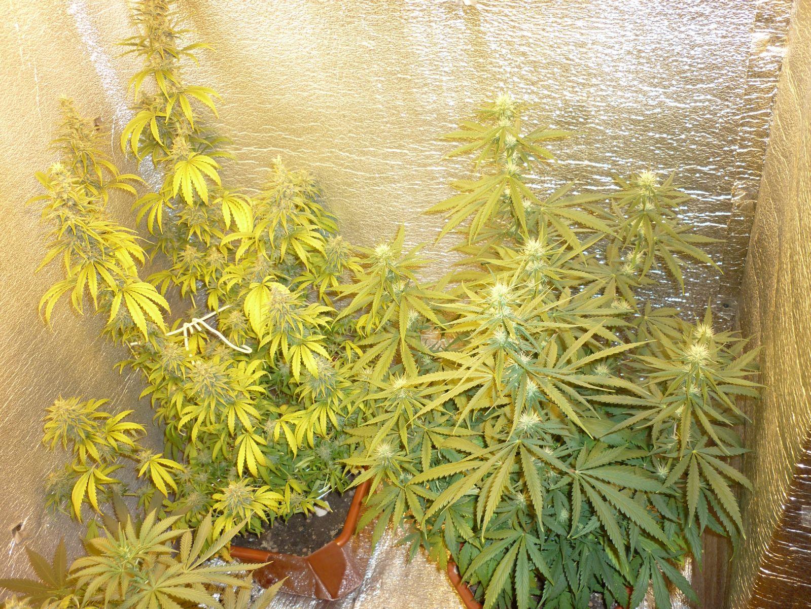 Выращивание сорта сатори 4
