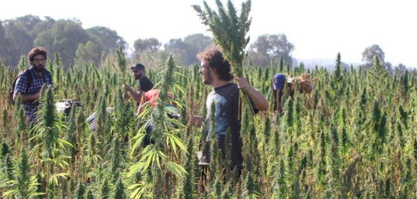 marijuana c.jpg