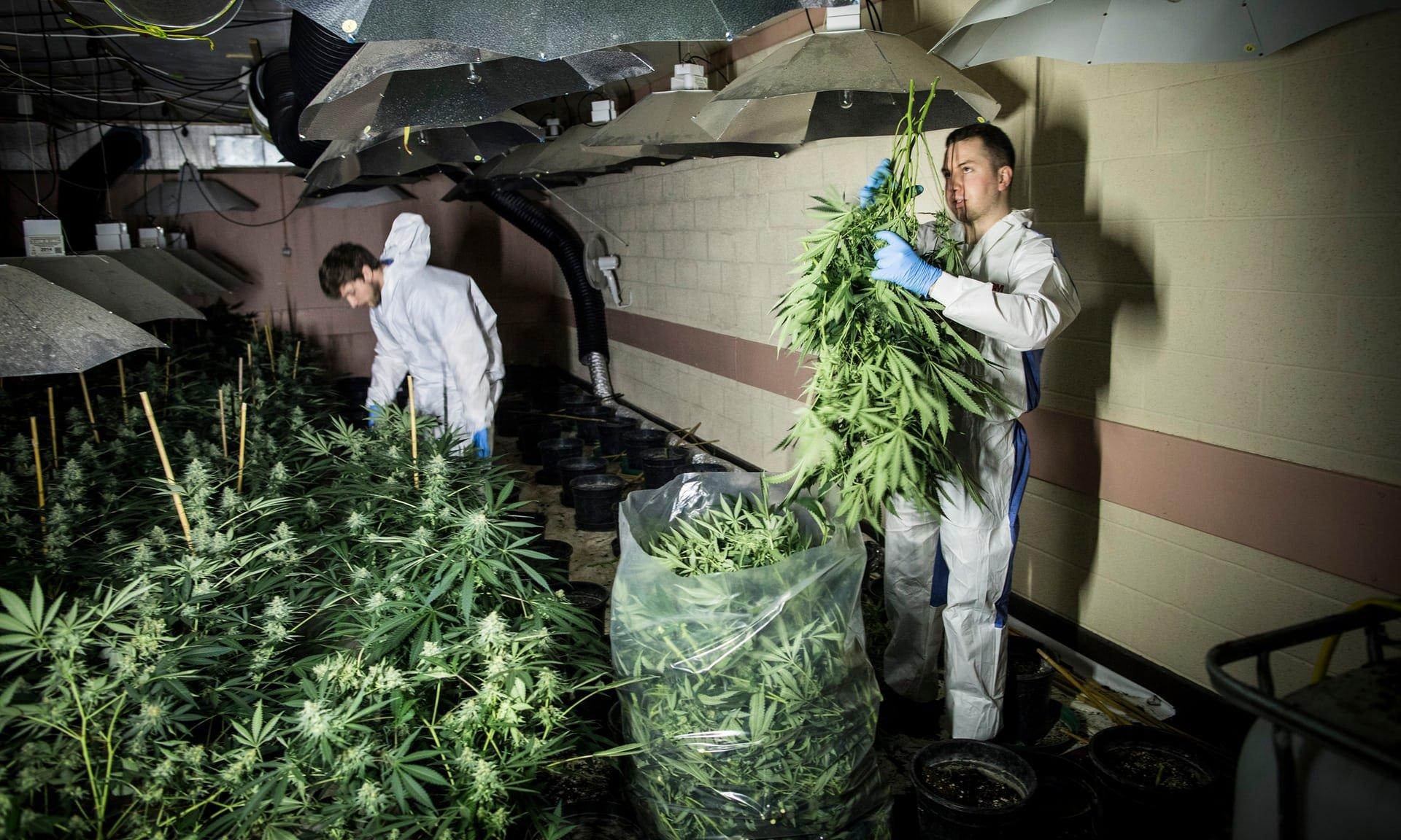 Как я легко вырастил коноплю как определить качества марихуаны