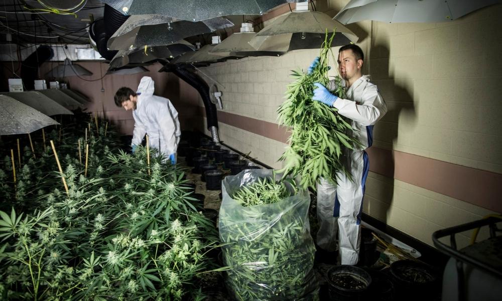 bunker cannabis.jpg