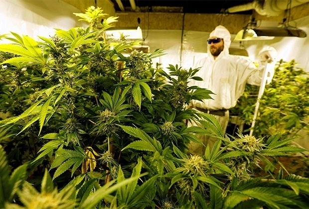 marijuana plant.jpg