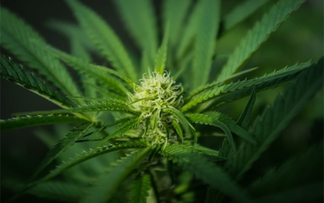 tourette marijuana.jpg