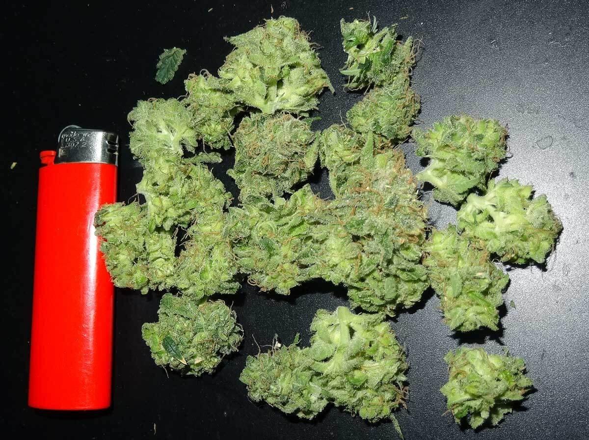 Как вырастить шишки из конопли все о вреде марихуаны