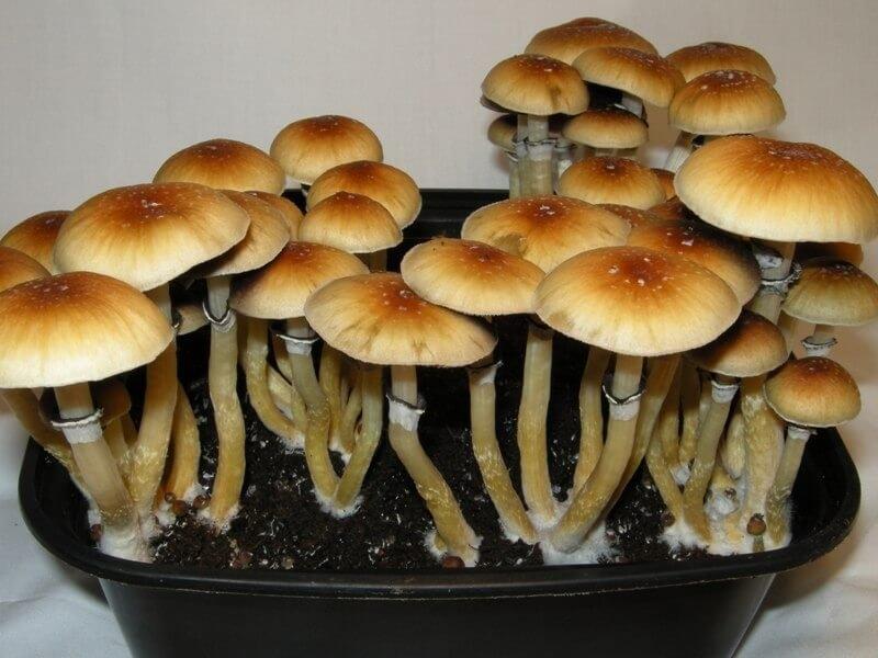psilocybin mushrooms (1).jpg