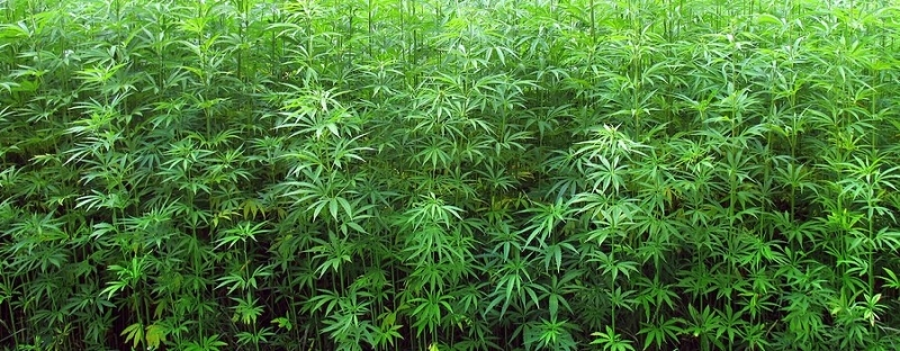 wild cannabis.jpg