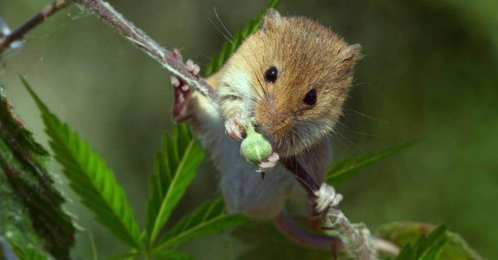 mice marijuana (1).jpg