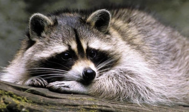 raccoon marijuana (1).jpg
