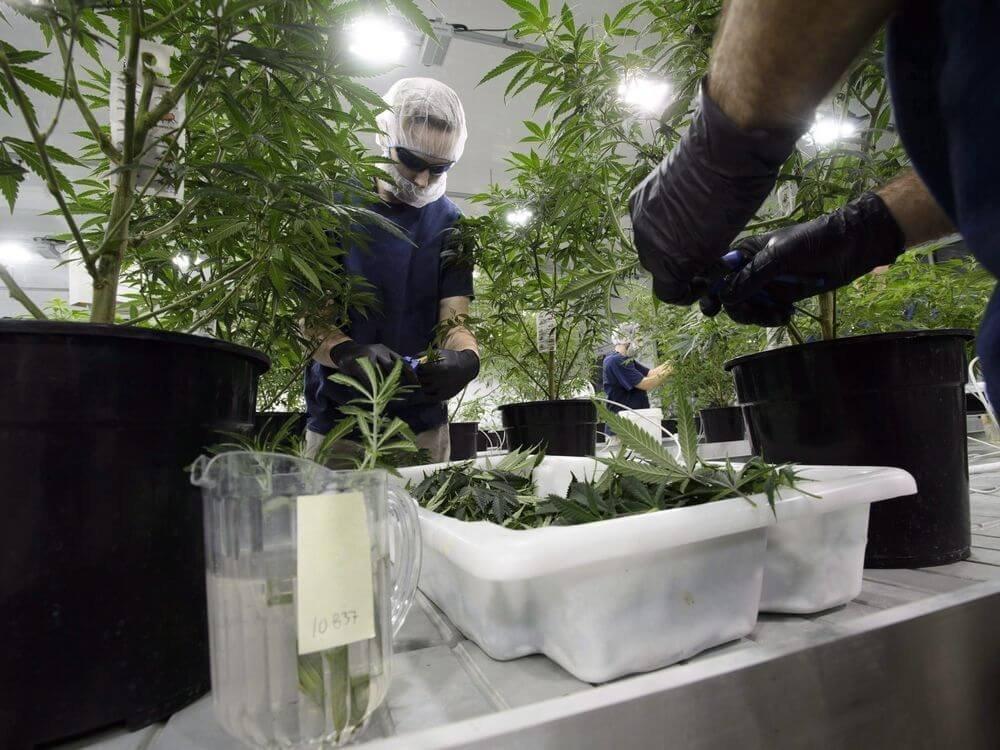cannabis-overstock.jpg