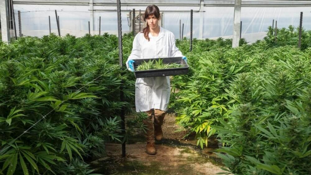 marijuana israel (1).jpg
