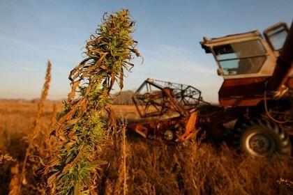 cannabis in russia (1).jpg