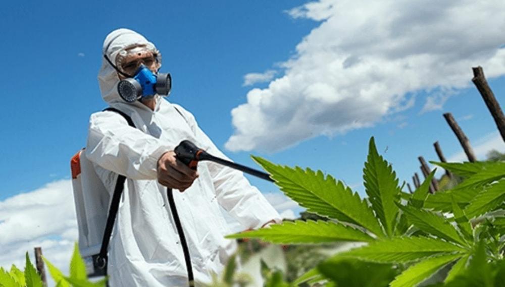 cannabis pesticides.jpg