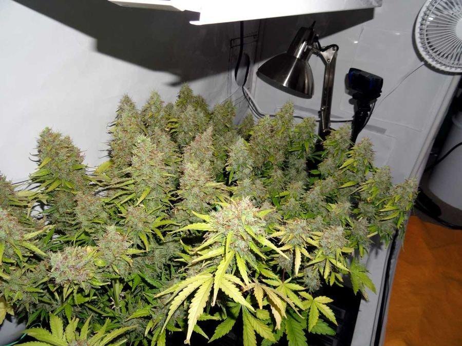 Марихуану на гидропонике великие люди о марихуане