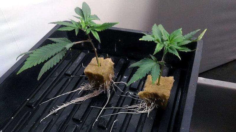 Вы кто такие уходите конопля как получить марихуану