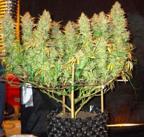 Сетки для марихуаны лечения мигрени марихуаной
