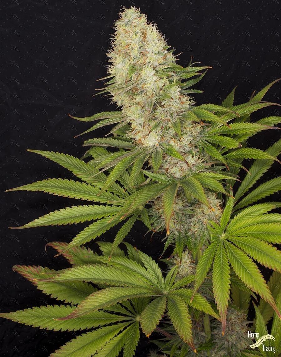 Другое название марихуаны травка курить марихуану