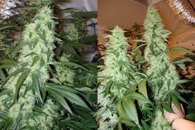 Грамм с куста конопли зависим от марихуаны