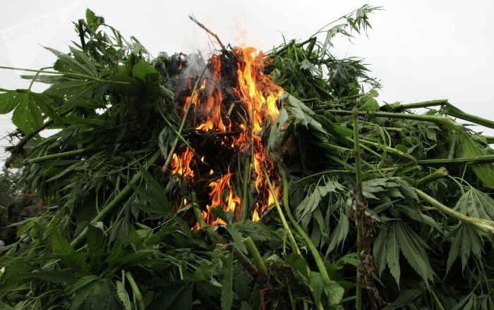 cannabis-destroyed-hawaii.jpg