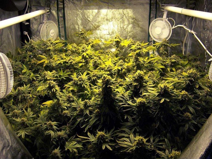Света выращивание конопли без для купить кальян марихуаны