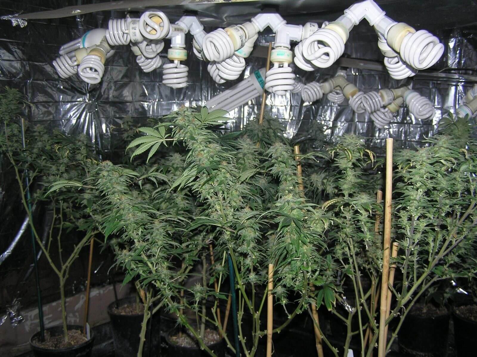 Энергосберегающие лампы выращивание марихуаны как конопля попала в европу