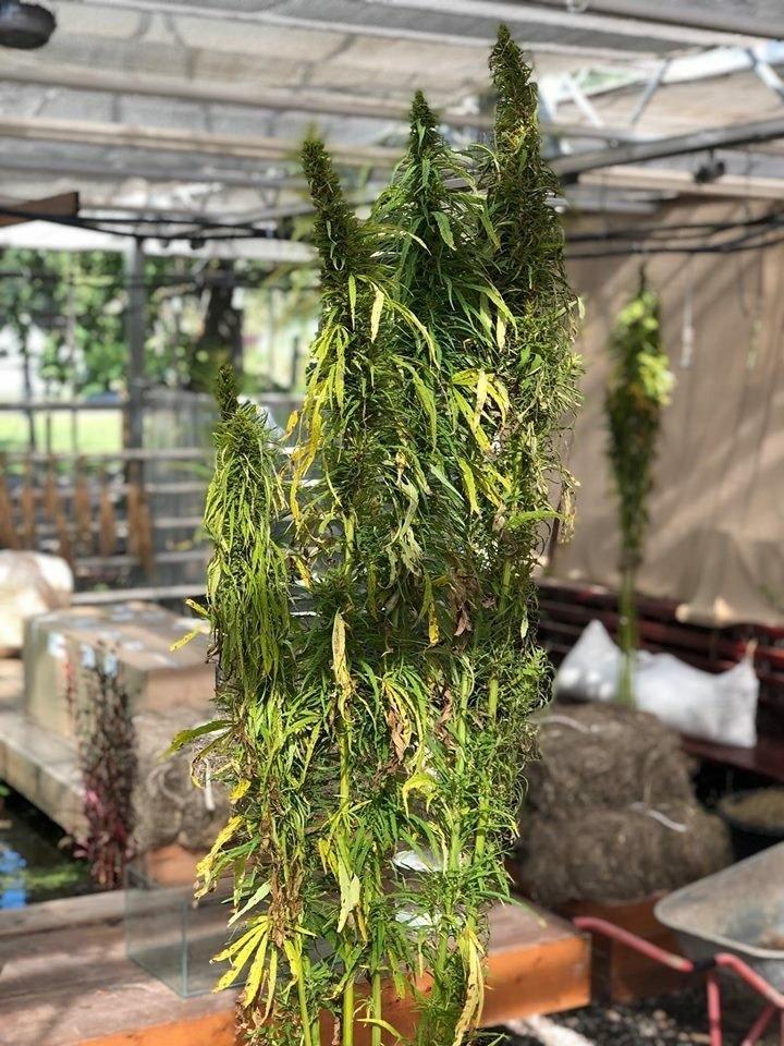 cannabis-botan-3m.jpg