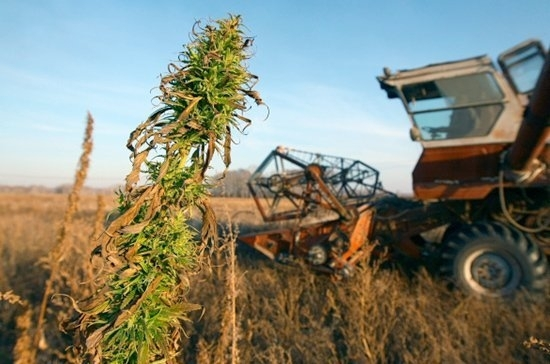 cannabis-report.jpg