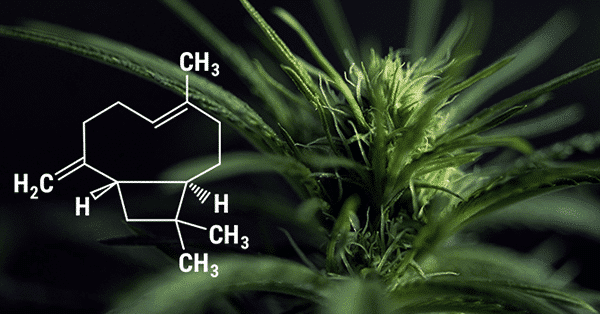 beta-caryophyllene-terpene.png