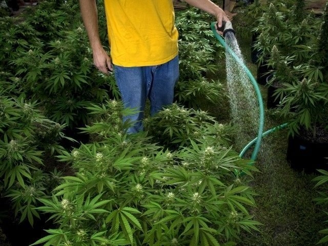 flushing-cannabis.jpg