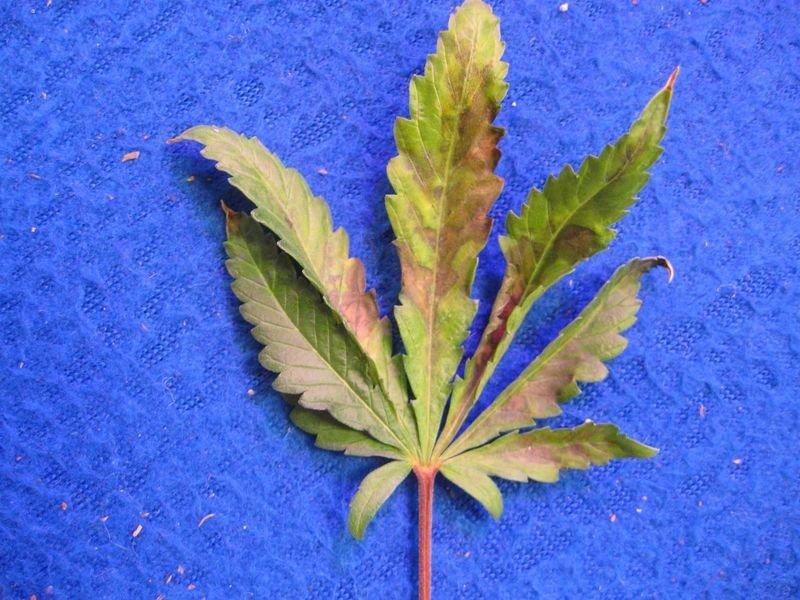 Краснеет стебель марихуаны моя плантация марихуаны