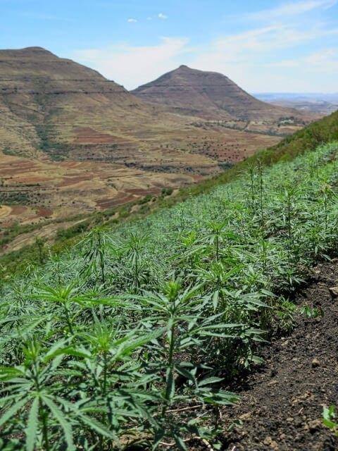 cannabis-farming-in-lesotho(1).jpg