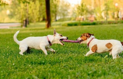 cannabis-dogs-play(1).jpg