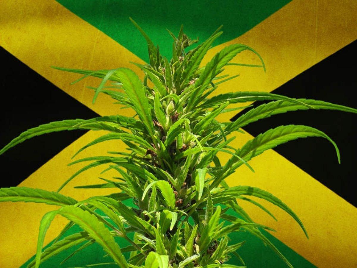 Разрешена ли марихуана на ямайке отличия конопли sativa