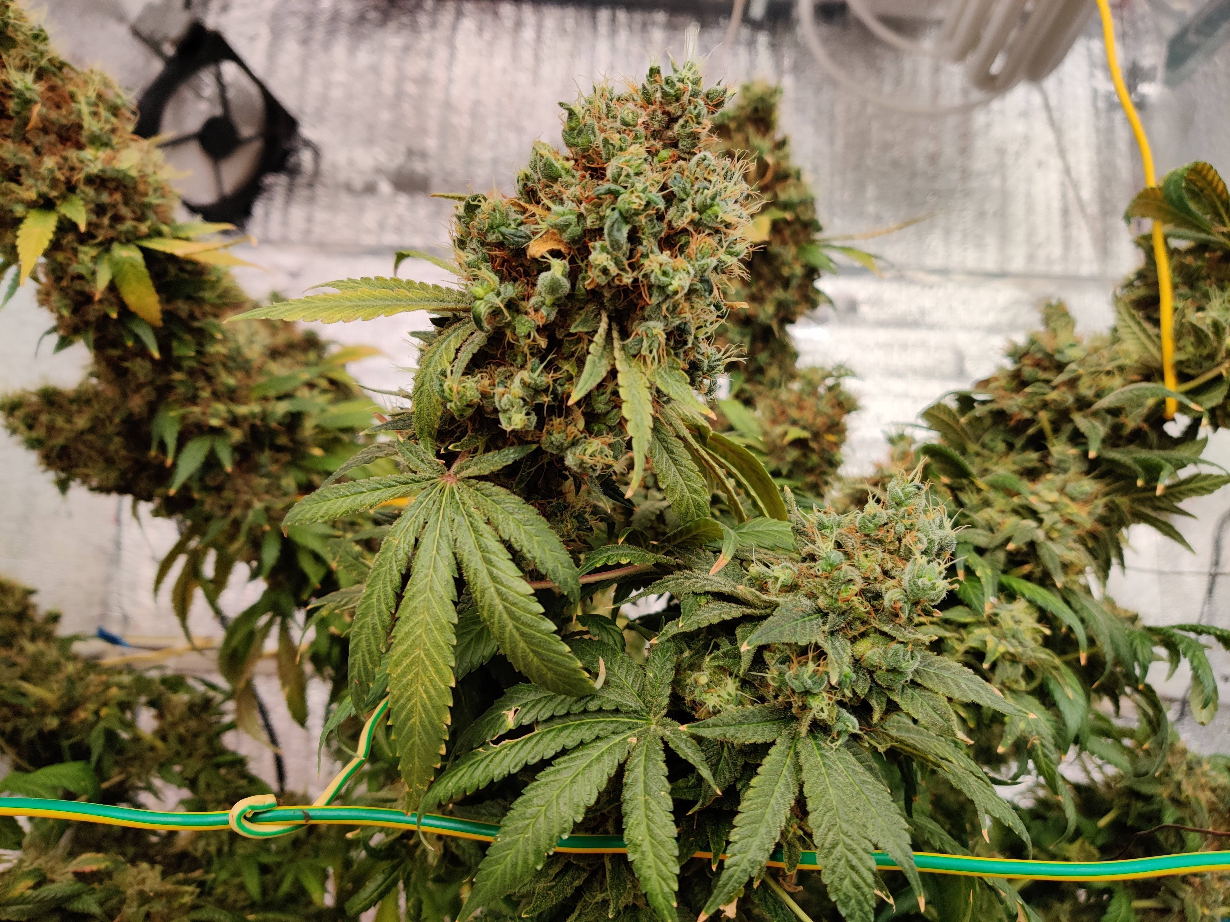 Семена марихуаны high stone измельчителей марихуаны