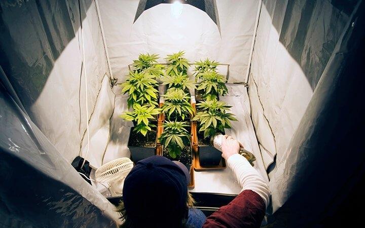cannabis-home-grow-covid.jpg