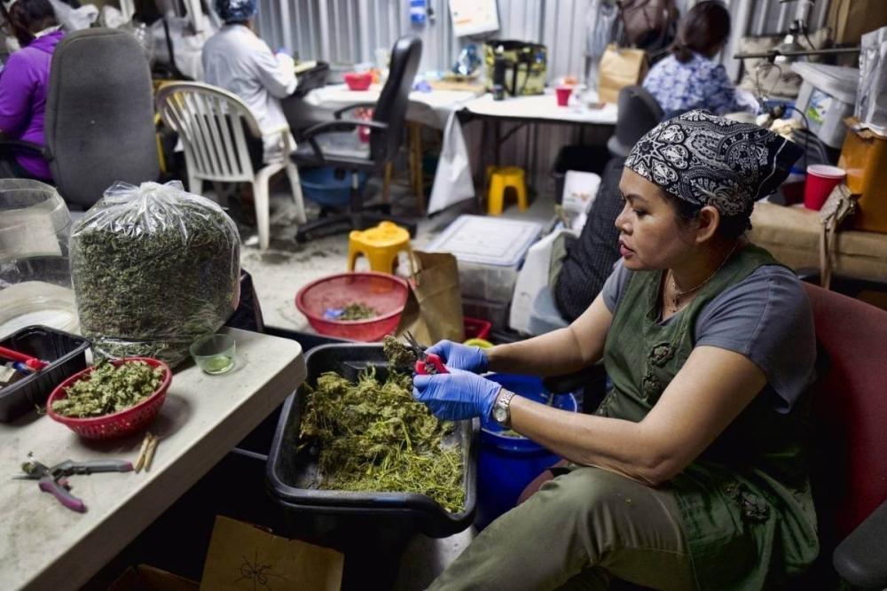 cannabis-trimming-thailand(1).jpeg