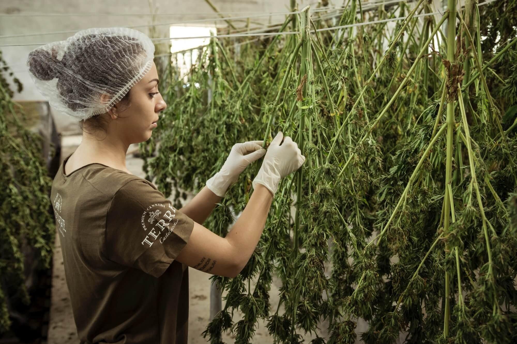 Закон о легализации марихуаны обкурятся своей марихуаной