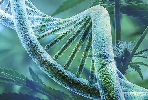 cannabis-genetics-modified.jpg