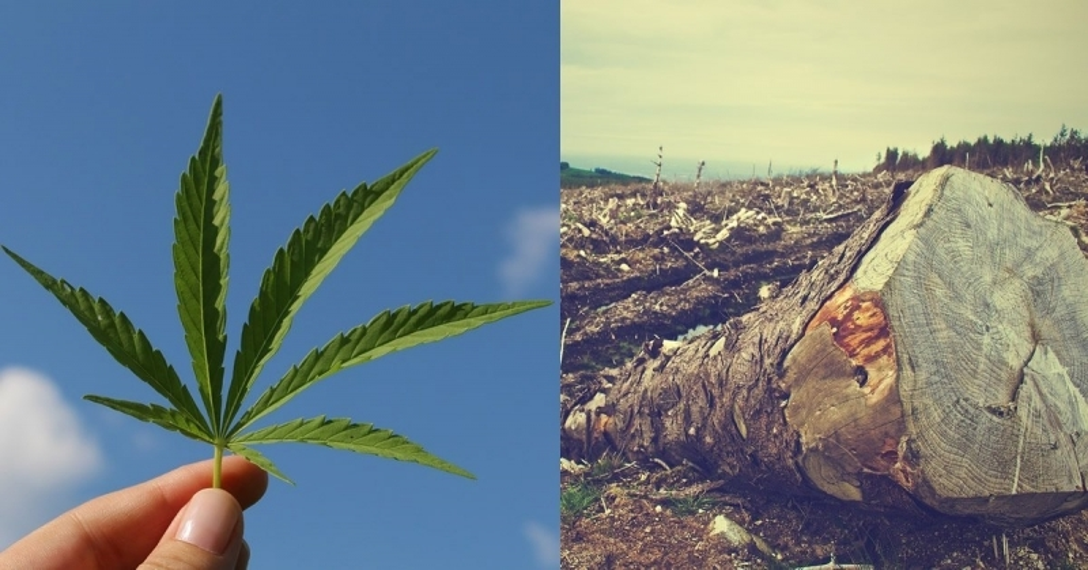 cannabis-forest.jpg