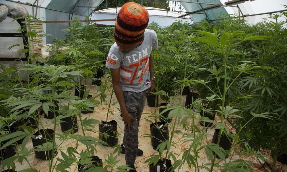 sa-cannabis-farm.jpeg